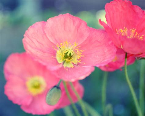 poppy flower colors garden by the sea photography by lupen grainne