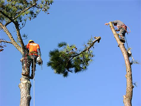 Tree Service In Tree Service Mansfield Tree Trimming Tree
