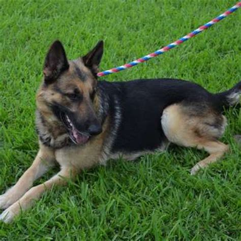 puppy rescue houston available gsd s greater houston german shepherd rescue