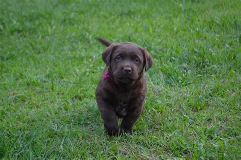 chocolate lab puppies for sale in wisconsin chocolate lab puppies for sale winter valley labs mlk