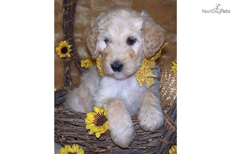 goldendoodle puppy ranch puppies for sale from my whatadoodle canine ranch member