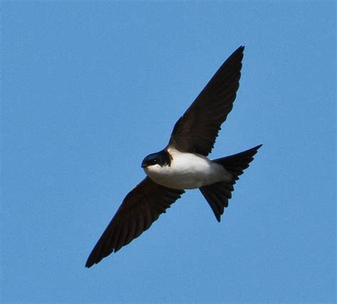 house martin swallows british wild birds co uk