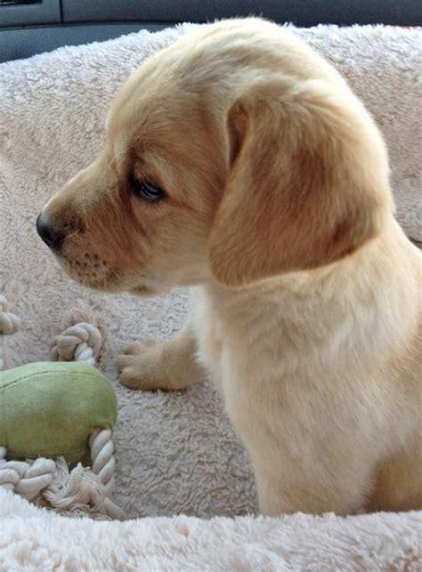 when do pomeranians stop growing joey the labrador retriever puppies daily puppy