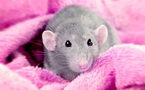 rat bedding best bedding for rats from great options to unsafe options