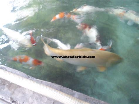 Benih Ikan Koi Jogja jual ikan hias benih ikan