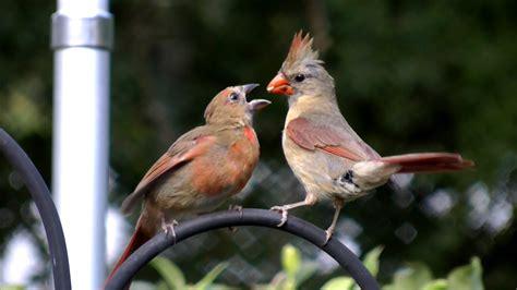 hd northern cardinal feeding baby bird fyv 1080 hd youtube