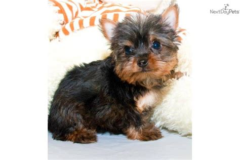 teacup yorkie grown up terrier yorkie puppy for sale near columbus ohio 1f850a7a af91