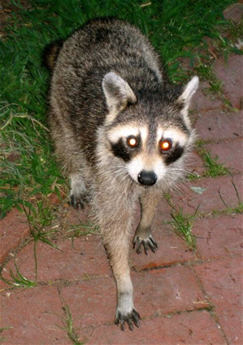pet raccoon kristina wright flickr