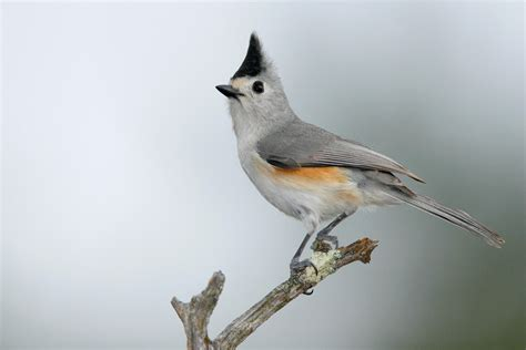 black crested titmouse audubon field guide
