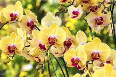 coltivazione orchidee in vaso come coltivare le orchidee non sprecare