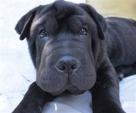 shar pei mix puppies 13 best walrus puppies images on basset hound bassett hound and dogs