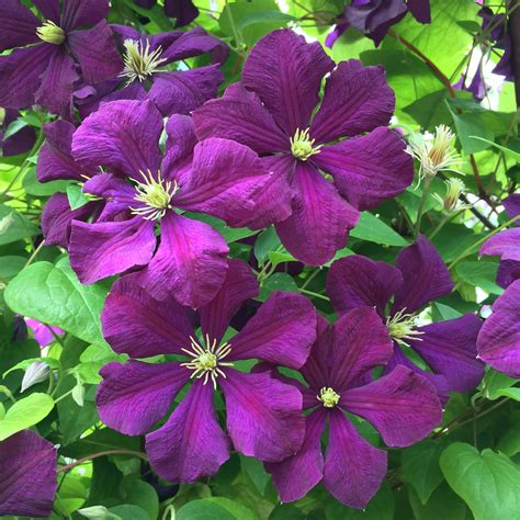 Clematis Etoile Violette 3441 by Daily Flower Clematis 201 Toile Violette Agm The