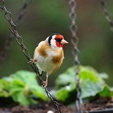 allevare cardellini in gabbia allevamento cardellini uccelli autoctoni
