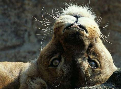 imágenes de leones juntos observa la belleza y el resplandor del verdadero amor