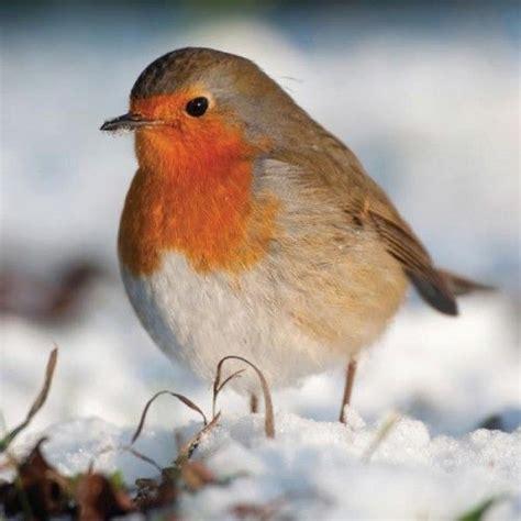 beautiful robin red breast beautiful birds pinterest