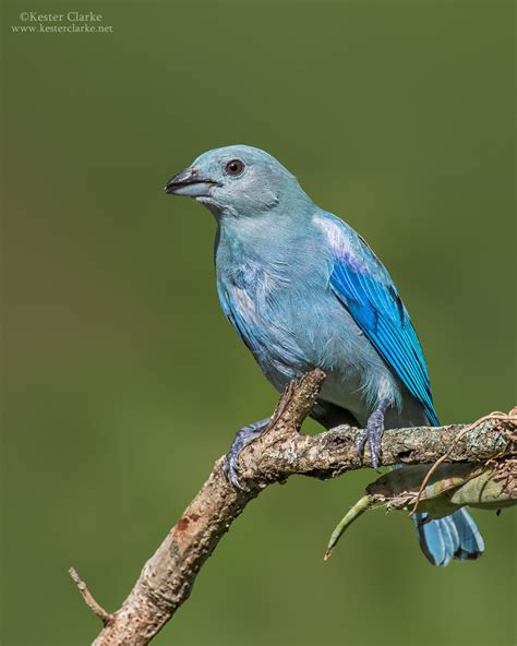 blue gray blue gray tanager kester clarke wildlife photography