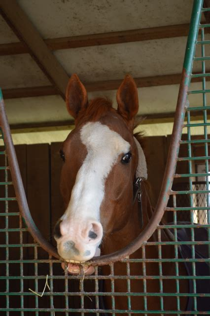 Cribbing Horses Treatment by Neville Bardos Update And A Special Announcement