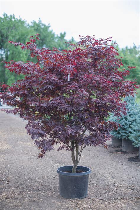 Clear Round Vase Maple Bloodgood Japanese Creekside Tree Nursery