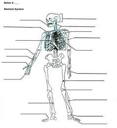 skeletal system diagram worksheet search results