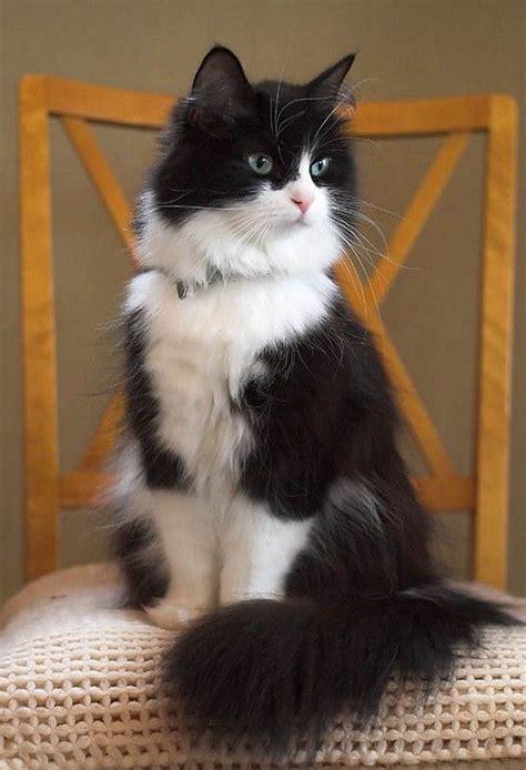 TUXEDO CAT FACTS and PERSONALITY   Tuxedo Cat Breed