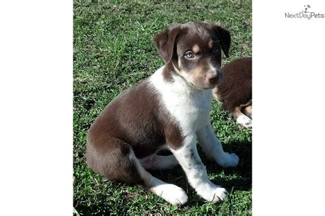 mcnab puppies for sale beautiful mcnab puppies mcnab puppy for sale in bakersfield ca 4483273862