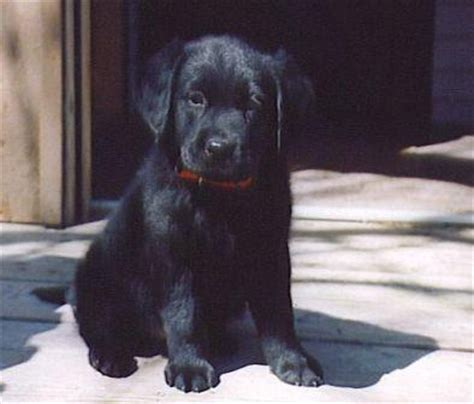 chocolate lab mixed with golden retriever golden retriever chocolate lab mix my style