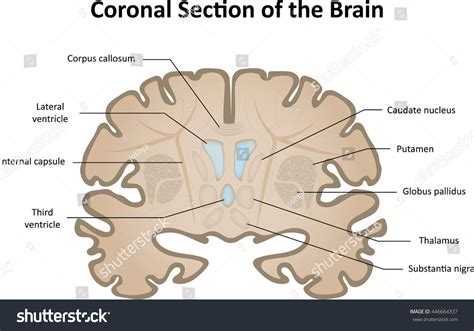coronal sections of the brain coronal section of brain labelled organ anatomy