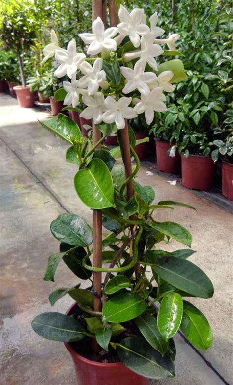 come curare il gelsomino in vaso stephanotis apocynaceae coltivazione e cura della