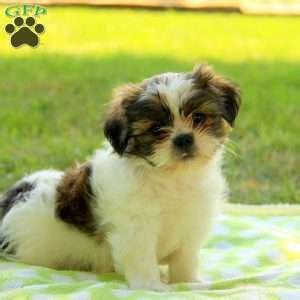 shih tzu pa shih tzu puppies for sale in de md ny nj philly dc and baltimore