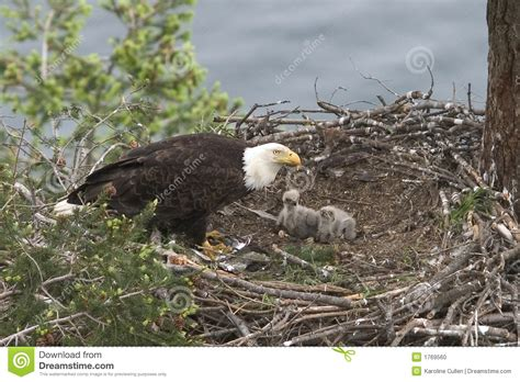 b3 the baby eagle based on a true story books baby eagles stock photo image 1769560