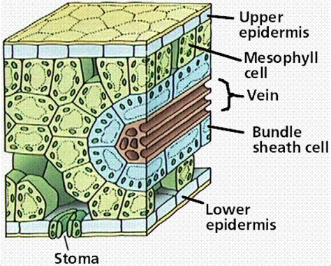 leaf cross section diagram labeled photosynthesis