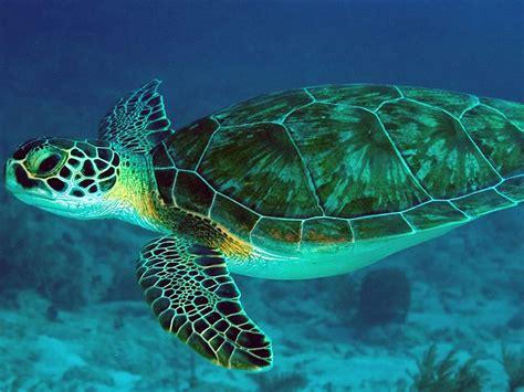 schwimmen mit schildkroeten  sri lanka