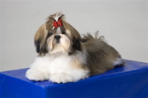 different shih tzu cuts shih tzu hair cuts styles cuteness