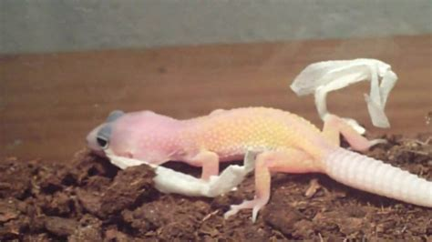 How To Help A Leopard Gecko Shed by Baby Leopard Gecko Shedding