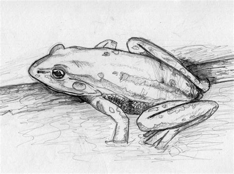 sketchbook how to draw line frog sketch by gogglesofescape on deviantart