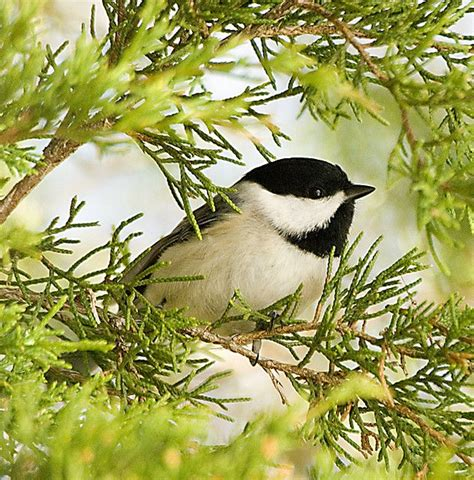 17 best ideas about chickadees on pinterest squirrels