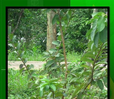 Kunci L Per Biji klasifikasi tumbuhan berbiji jambu biji psidium guajava l