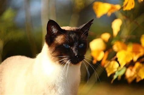 gatto siamese alimentazione alimentazione gatto siamese come deve essere dogalize