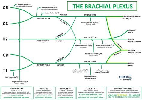 brachial plexus diagram anatomy brachial plexus geeky medics