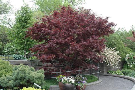 Sset Pino Maroon bloodgood japanese maple acer palmatum bloodgood in