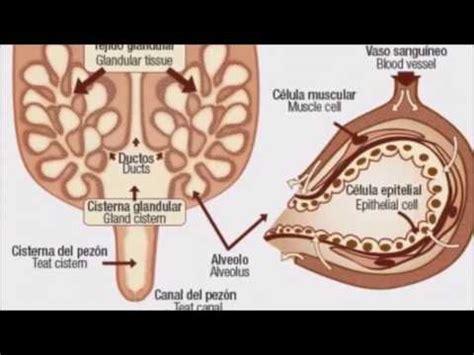 glandula submaxilar anatomia glandula mamaria en el bovino youtube
