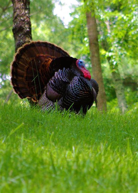 auf tã rkisch 19 besten turkey bilder auf truthahnjagd