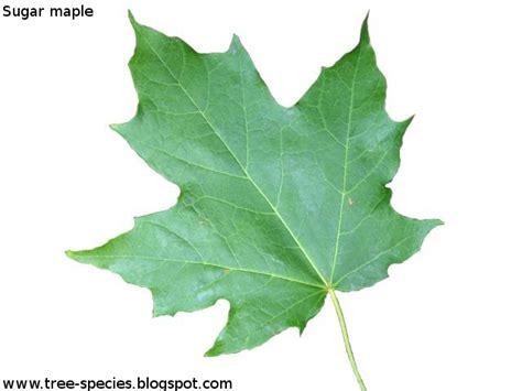 maple tree leaf shape the world 180 s tree species 2012 05
