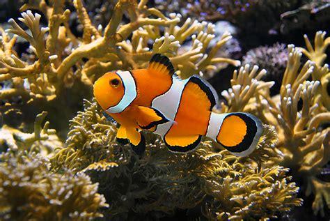 la chachipedia el pez payaso apexwallpaperscom pez payaso wikipets