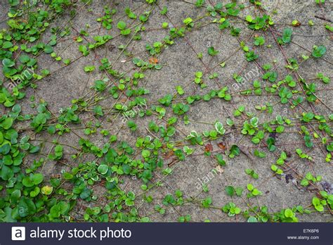 invasive vines growing on concrete wall stock photo royalty free image 73566478 alamy