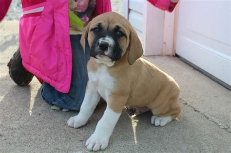 boxer puppies for sale in indiana view ad boxer great pyrenees mix puppy for sale indiana laurel usa