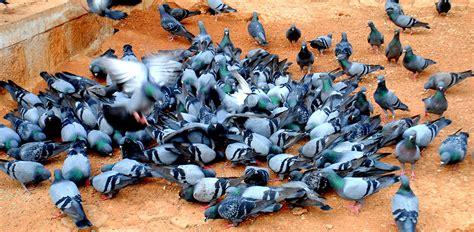 Merpati Yang Bersahabat merpati batu burung dara yang mendunia mongabay co id