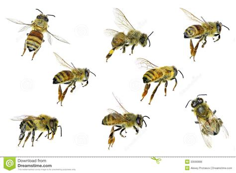 honey bee royalty free stock image image 33590886