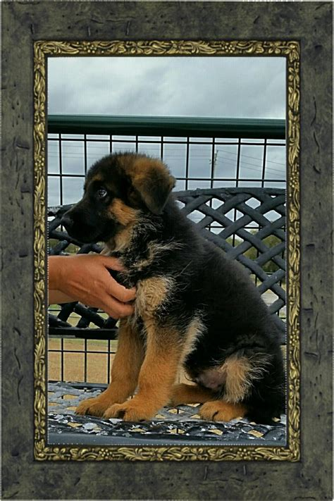 rottweiler puppies for sale el paso german rottweiler puppies el paso tx dogs in our photo