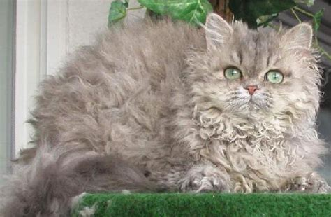 care selkirk selkirk rex pictures personality and how to care for